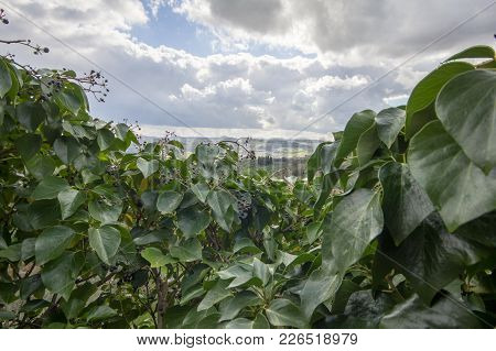 Leaves Intertwined With Distant Views Of The Tuscan Hills. The Sky Is Cloudy.