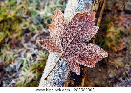 Detail of dried fallen maple leaf covered with ice crystals, winter season concept