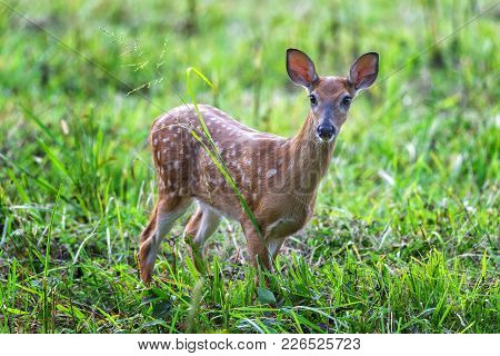 Horizontal Shot Of A White-tailed Fawn In A Green Field Looking Toward The Camera.