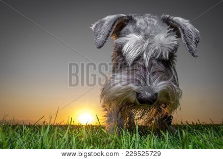 Miniature Schnauzer Dog Sniffing Ground At Sunset From Low Angle