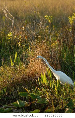 The Great Egret Hunting Along The Waters Edge In Everglades National Park.