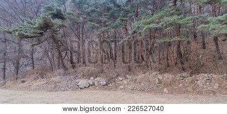 Row Of Evergreen Trees At Edge Of A Deciduous Forest Next To A Dirt Parking Lot On A Cold Gray Winte