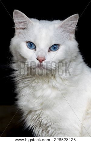 A Close-up Sjot Of A White Cat On A Black Background.