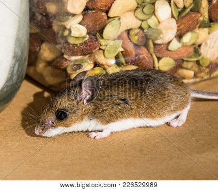 Side View Of A Wild Brown House Mouse, Mus Musculus, Sniffling Around In Front Of A Canister Of Mixe