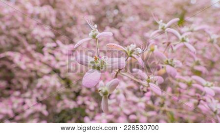 Close Up Congea Tomentosa Roxb, Shower Orchid Is Climber Pink