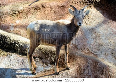 Adolescent Bighorn Sheep On A Rural Rock In The Desert
