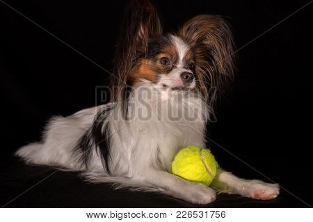 Beautiful Dog Continental Toy Spaniel Papillon With A Tennis Ball On A Black Background