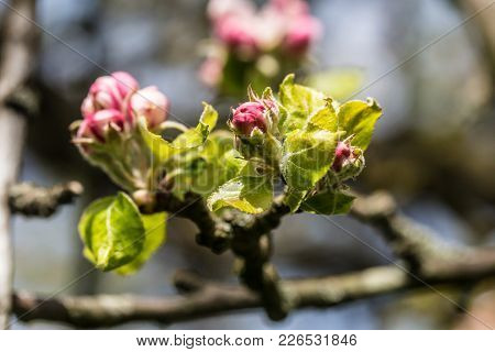 Detail From Beuatiful Apple Blossum In Springtime