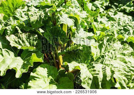 Big Rhubarb Leaves In Detail In The Garden