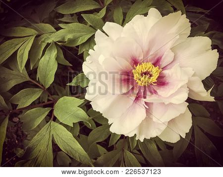 Beautiful And Delicate Wild Rose, Vintage Style Photo.