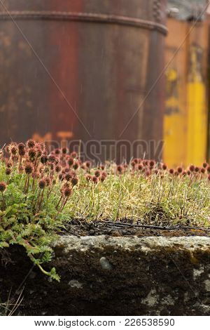 Close Up Multiple Rust And Maroon Colored Greater Burnet Wildflowers With Vegetation Against Rusted
