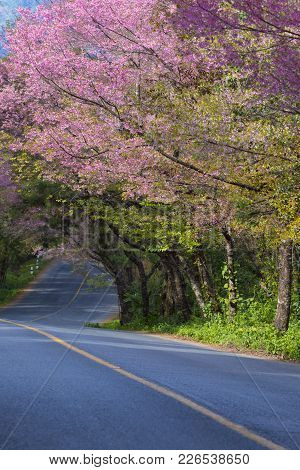 Beautiful Scenic Of Wild Himalayan Cherry Blooming In Doi Ang Khang Most Popular Winter Traveling De