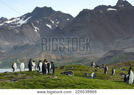 King Penguins Standing An Laying In Lush Grassin The Foreground With Rugged Mountains In The Backgro