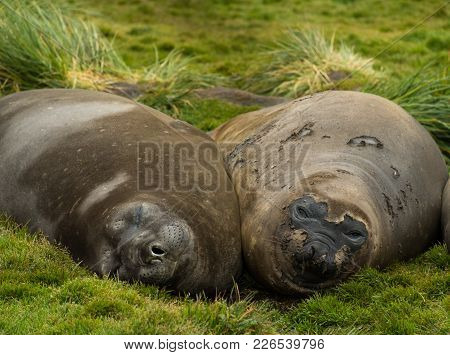 Young Elephant Seals Or Weiners Facing The Camera. One Is Looking At The Camera And The Other Is Asl