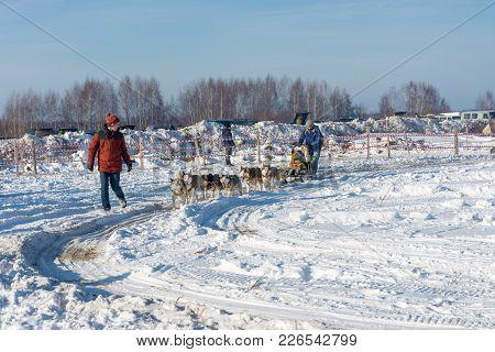 Dog Sledding At The Festival Winter Fun In Uglich, 10.02.2018 In Uglich, Yaroslavl Region, Russia.