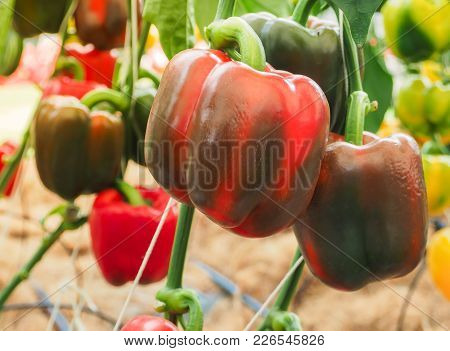 Closeup Of Ripening Peppers In Home Plantation. Farm In Thailand.