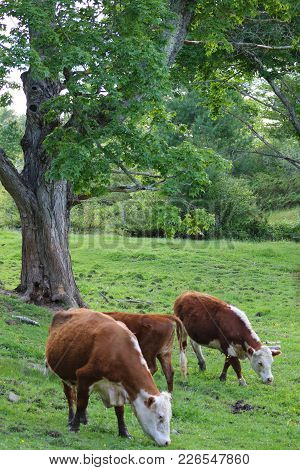 Three Cows In A Field With Trees And Brush In The Summer Time, Grazing.