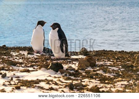 A Pair Of Adelie Penguins. Ross Island, Antarctica.