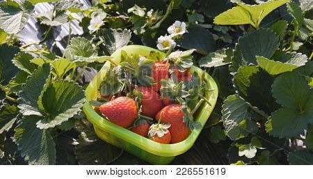 Picking Strawberry harvest in the field