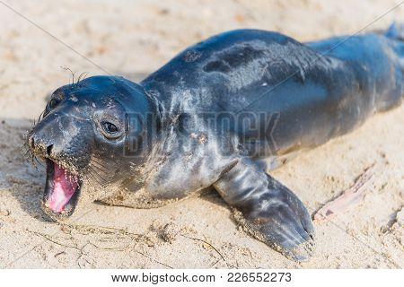 Juvenile Elephant Seal On The Beach In California