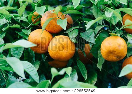 Low Angle View Of Orange Tree Fruits And Leaves In Cordoba