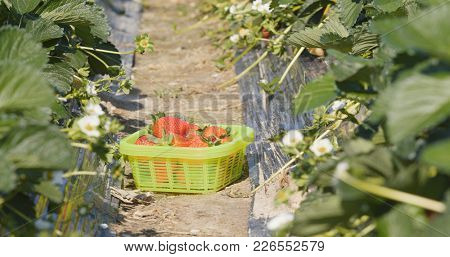 Harvest of strawberry in row of field