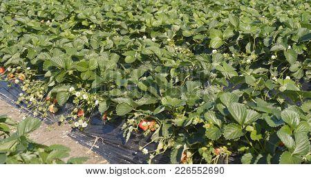 Fresh strawberry field row