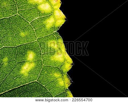 Background Of Carved Green Leaf Texture With Translucent Veins On Black