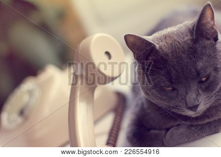 Furry Gray Cat Listens Attentively To The Sound From The Retro Phone Tube / Attentive Communication