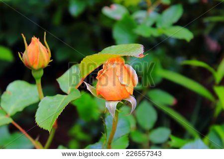 Beautiful Orange Rose On The Bush. Delicate Orange Rose. Orange Rosebuds. Rose Bush In The Garden Wi