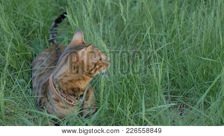 Bengal Cat Walks In The Grass. He Shows Different Emotions. The Cat Looks Away. Ears On The Vertex,