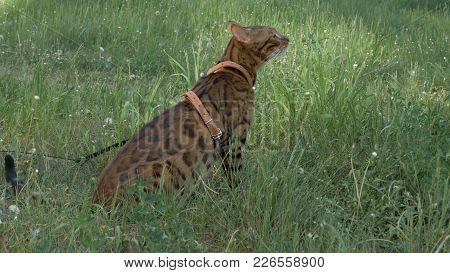 Bengal Cat Walks In The Grass. He Shows Different Emotions. The Ears Are Lowered And Set Back: An Of