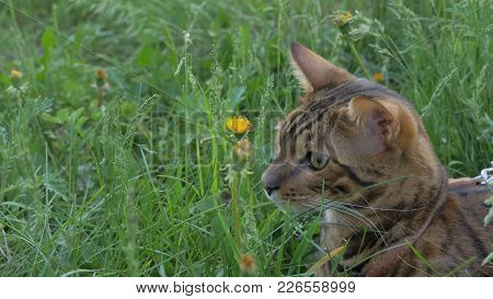 Bengal Cat Walks In The Grass. He Shows Different Emotions. A Surprised Cat Looks At The Beetle. The