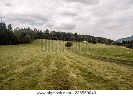 Meadow With Isolated Tree, Pathway, Sheep And Forest On The Background In Moravskoslezske Beskydy Mo