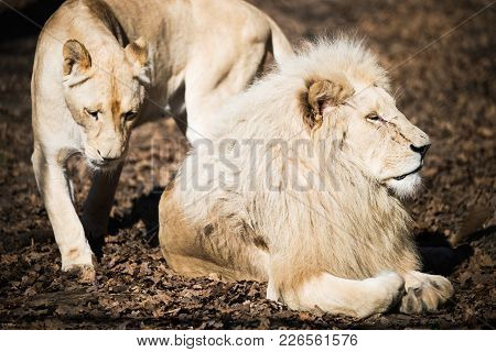 White Rare Lion And Lioness In Nature Park