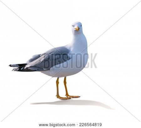 sea gull standing on his feet. seagull . Isolated over white.  gull looks at frame