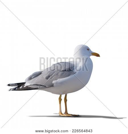 sea gull standing on his feet. seagull . Isolated over white.  the gull looks aside