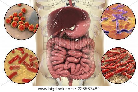 Intestinal Microbiome, Bacteria Colonizing Different Parts Of Digestive System, Enterococcus, Helico