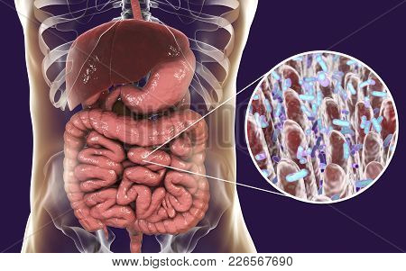 Intestinal Microbiome, Anatomy Of Human Digestive System And Close-up View Of Intestinal Villi With