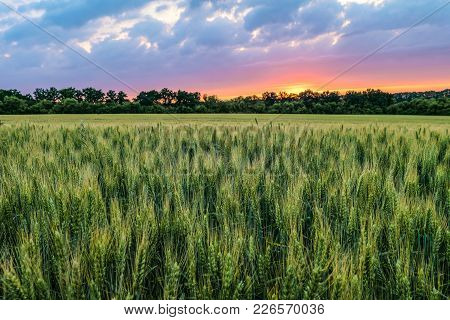 Green Ripening Ears Of Wheat Field Under Cloudy Sky At Sunset. Agricultural Natural Plantation Backg