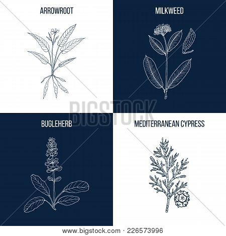 Vector Collection Of Four Hand Drawn Medicinal And Eatable Plants, Arrowroot, Milkweed, Bugleherb, C