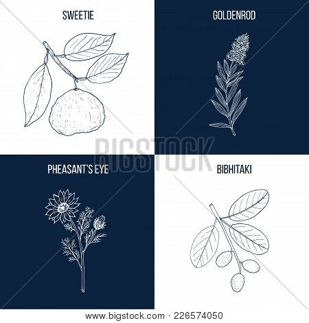 Vector Collection Of Four Hand Drawn Medicinal And Eatable Plants, Sweetie, Goldenrod, Pheasant Eye,
