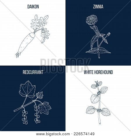 Vector Collection Of Four Hand Drawn Medicinal And Eatable Plants, Daikon, Zinnia, Redcurrant, White