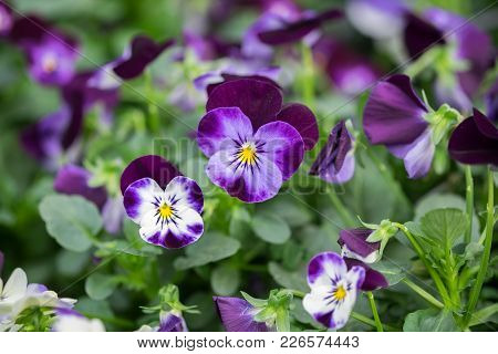 A Macro Shot Of The Colorful And Vibrant Pansy Flowers