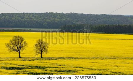 Canola Field In Bloom, Near Oswaldkirk In The Howardian Hills, North Yorkshire, England, Uk