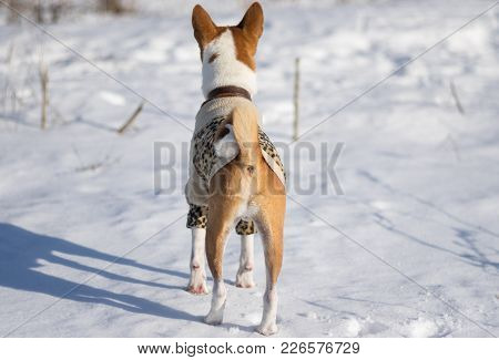 Basenji Dog Watching Its Territory Before Hunting For Small Rodents Under Fresh Snow (rear View)