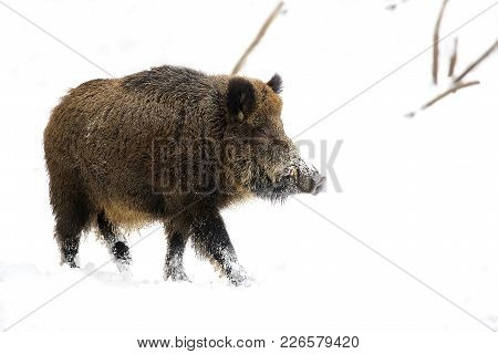 Wild Boar In The Wild In Winter