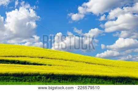 Yellow rapefield in spring
