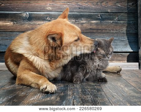 Huge Dog Licks Unhappy Cat. Wooden Board Background