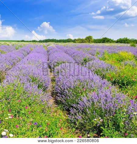Blooming Lavender In A Field On A Background Of Blue Sky. Shallow Depth Of Field. Focus On The Foreg